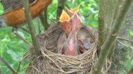 CU Shot of mother robin flies into her nest with butterfly and feeds part of it to each of three hungry chicks She removes waste excreted by chick afterwards / Chelsea, Michigan, United States