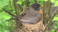 CU Shot of mother robin flies off her nest leaving one baby chick and two unhatched eggs behind / Chelsea, Michigan, United States