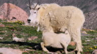 MS Shot of mountain goat kid nursing on tundra wildflowers / Idaho Springs, Colorado, United States