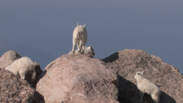 MS Shot of mountain goat kids jumping and playing on rock / Idaho Springs, Colorado, United States
