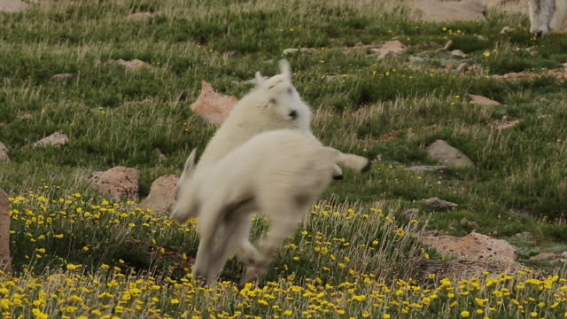 MS  shot of mountain goat kids playing in a meadow of wildflowers
