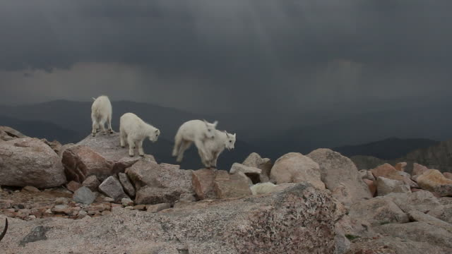 WS shot of mountain goat kids playing on a mountain top with a very scenic background during a thunder storm