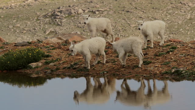 MS shot of mountain goat kids standing along side of a reflecting mountain top pond