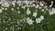 CU PAN Shot of Narcissus, Daffodils moving slightly in wind / Scotland