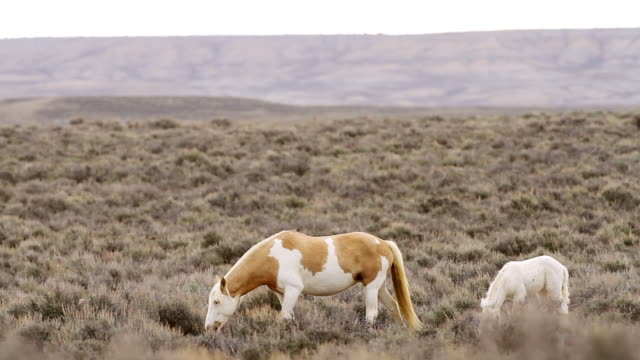 MS PAN Shot of newborn albino wild horse colt hangs with mom / Sand wash Basin, Colorado, United States