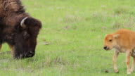 MS Shot of newborn bison calf (red dog) try's out some grass, but little too close to mom / Gardiner, Montana, United States