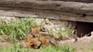 MS Shot of newborn coyote pups (kits) come out from their den under historic log cabin / Moose, Wyoming, United States