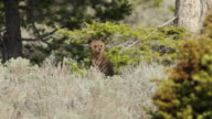 MS Shot of newborn grizzly cub stands up in sagebrush / Tetons, Wyoming, United States