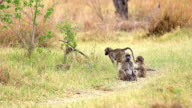 MS TS SLO MO Shot of Olive Baboon (papio anubis) in group and two young playing at Okavango Delta forest area / Moremi Reserve, Africa, Botswana