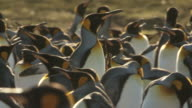 MS TS Shot of one king penguin Aptenodytes patagonicus walking through group / Volunteer Point, Falkland Islands