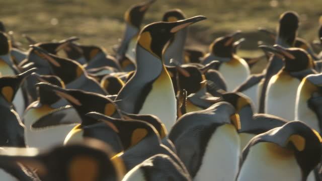 MS TS Shot of one king penguin Aptenodytes patagonicus walking through group / Volunteer Point, Falkland Islands