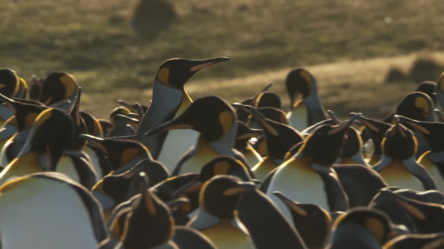 MS TS Shot of one king penguin Aptenodytes patagonicus walking through group others preening and pecking it / Volunteer Point, Falkland Islands
