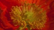 ECU T/L Shot of orange Icelandic artic poppy opening from its hairy pod / Studio City, California, United States