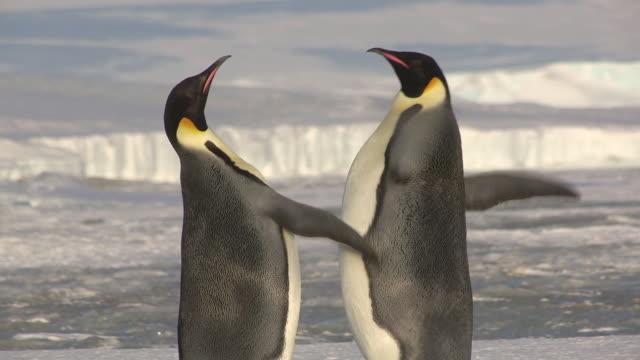 MS TS Shot of Pair of Emperor penguins flighting in profile / Dumont D'Urville Station, Adelie Land, Antarctica