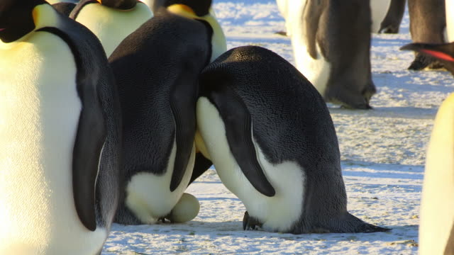 MS Shot of pair of Emperor penguins in sunlight and reveal egg to mate who turns egg into brood pouch / Dumont D'Urville Station, Adelie Land, Antarctica