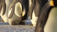 CU TU Shot of pair of Emperor penguins in sunlight to faces / Dumont D'Urville Station, Adelie Land, Antarctica