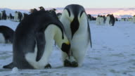 MS Shot of pair of Emperor penguins of huddle reveal egg and inspect it prior / Dumont D'Urville Station, Adelie Land, Antarctica