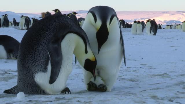 MS Shot of pair of Emperor penguins of huddle reveal egg and inspect it prior / Dumont D'Urville Station, Adelie Land, Antarctica