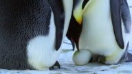 CU TU Shot of pair of Emperor penguins reveal eggs and both inspect to faces / Dumont D'Urville Station, Adelie Land, Antarctica