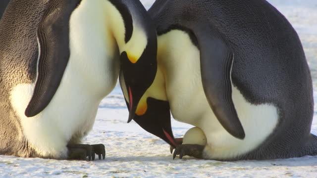 CU PAN TU Shot of pair of Emperor penguins struggle to hand over egg / Dumont D'Urville Station, Adelie Land, Antarctica