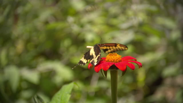 CU SLO MO ZO Shot of Pale Swallowtail butterfly feeding on red flower / Santa Barbara, California, United States