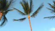 MS PAN Shot of palm tree blows in wind against blue sky / Hawaii, United States