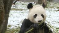 CU Shot of Panda eating bamboo in snow / Edinburgh, United Kingdom