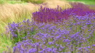 MS Shot of park with fields of grass and blue salvia / Losheim am See, Saarland, Germany