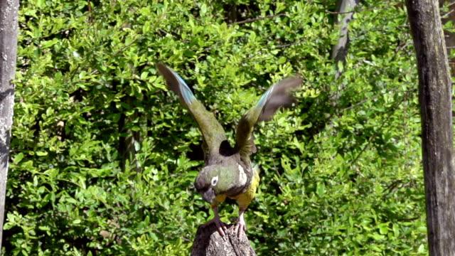 MS SLO MO Shot of Patagonian Conure or Burrowing Parakeet, cyanoliseus patagonus bloxami