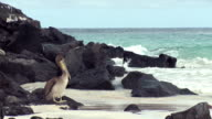 MS Shot of pelican looking for prey in shore / Cantons, Galapagos, South Korea