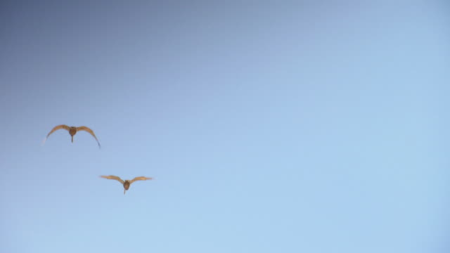 MS TS Shot of Pelicans flying / Los Angeles, California, United States