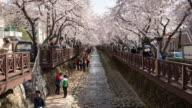 MS T/L Shot of people going cherry blossom viewing in Yeojwacheon Stream / Namhae, Gyeongsangnam do, South Korea