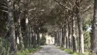 MS Shot of Pine tree avenue / Grosseto, Tuscany, Italy