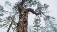 MS T/L LA Shot of pine trees at National Park / Teide, Tenerife Island, Canary Islands, Spain