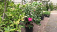 CU Shot of pink camellia and plants in nursery / Saarburg, Rhineland-Palatinate, Germany