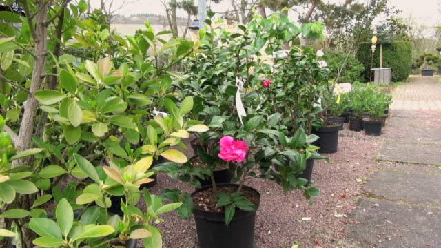 CU Shot of pink camellia and plants in nursery / Saarburg, Rhineland-Palatinate, Germany