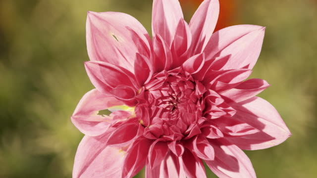 CU T/L Shot of pink dahlia flower blossoming / Studio City, California, United States