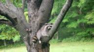 MS Shot of Raccoon sleeping on branch of tree / Tweed, Ontario, Canada
