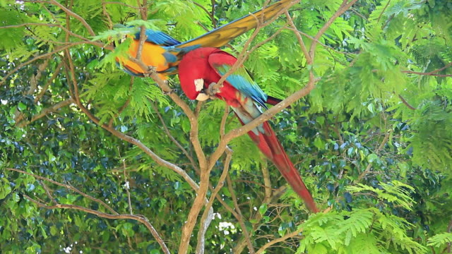 MS Shot of red and green macaw and golden blue macaw standing on branches / Mato Grosso do Sul, Brazil