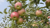 CU Shot of Red apples hanging on tree in apple orchard / Merano, Trentino, Tyrol, Italy
