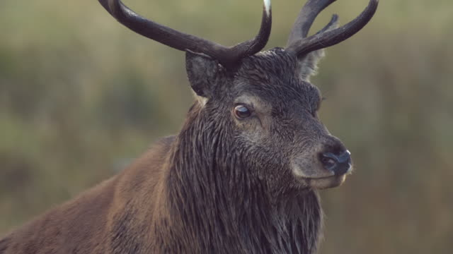 CU SLO MO TS Shot of Red deer stag Cervus elaphus roaring  / Isle of Rum, Hebrides, Scotland