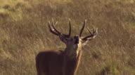 MS TU SLO MO TS Shot of Red deer stag Cervus elaphus walking, roaring / Isle of Rum, Hebrides, Scotland