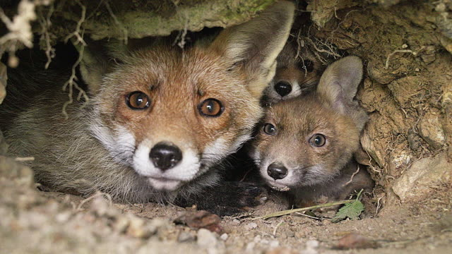 MS Shot of red fox  mother and cub sitting at Den entrance / Calvados, Normandy, France