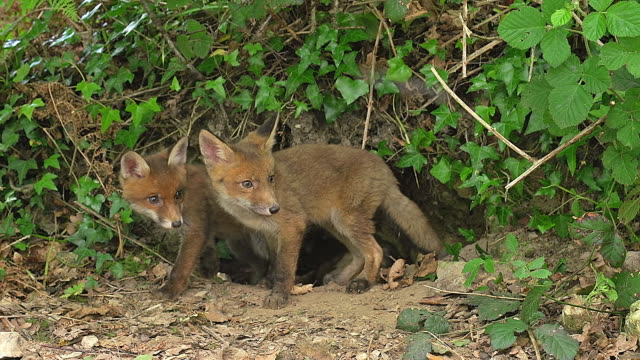 MS Shot of Red Fox (Vulpes vulpes) mother and cub standing at den entrance / Calvados, Normandy, France