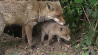 MS Shot of Red Fox (vulpes vulpes) Mother and Cub standing at Den Entrance / Normandy, Calvados, France