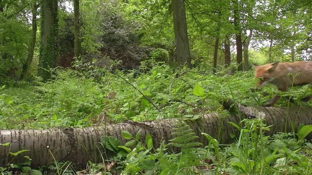 MS Shot of Red Fox (Vulpes vulpes) walking wood trunk / Calvados, Normandy, France