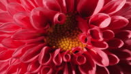 CU T/L Shot of red , pink dahlia flower blooming / Studio City, California, United States