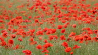 MS Shot of Red poppies in field with swaying in wind / Crimea, Ukraine