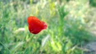 HD:  Shot of red poppy with green background