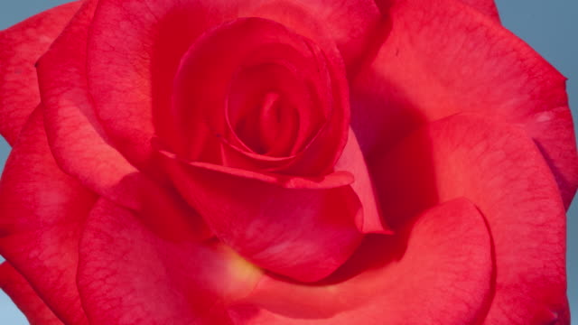 CU T/L Shot of red rose opening against blue background / Studio City, California, United States